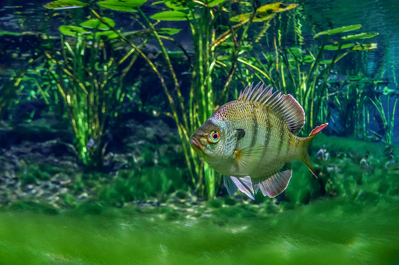 Florida%20Bluegill%20Alexander%20Springs