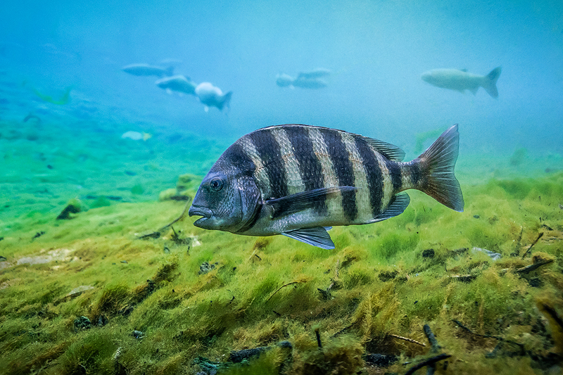 Sheepshead%20Manatee%20Springs.jpg