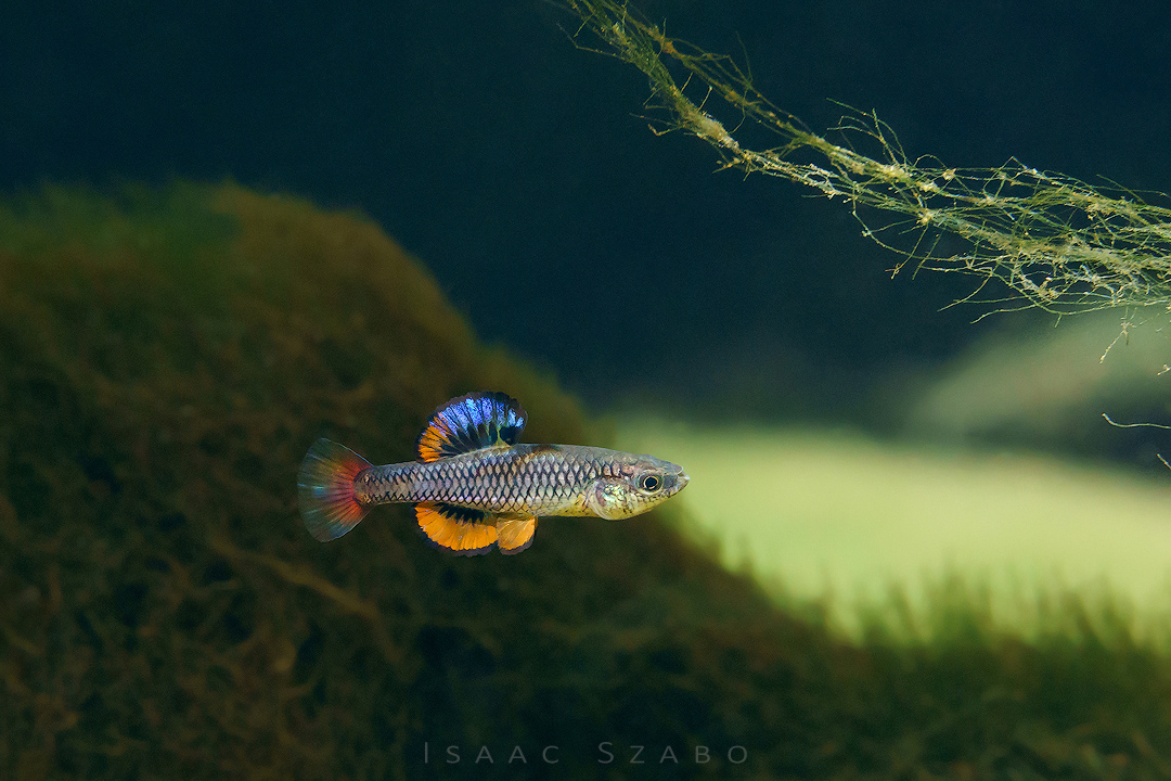 6%20Bluefin%20Killifish.jpg