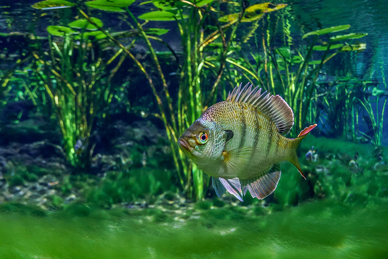 Florida%20Coppernose%20Bluegill.jpg